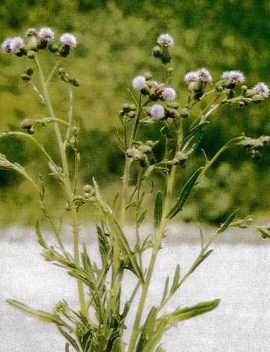 Canada Thistle - click for more information