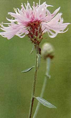 photo of Diffuse Knapweed