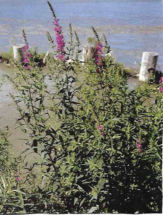 Purple Loosestrife - click for more information