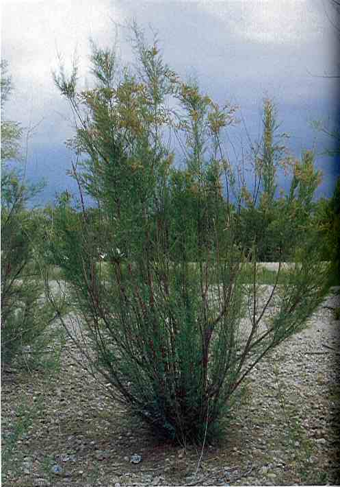 Salt Cedar - click for more information