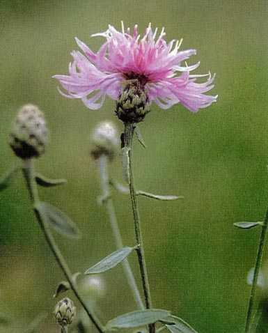 Spotted Knapweed - click for more information