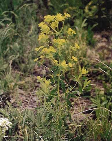 Leafy Spurge - click for more information